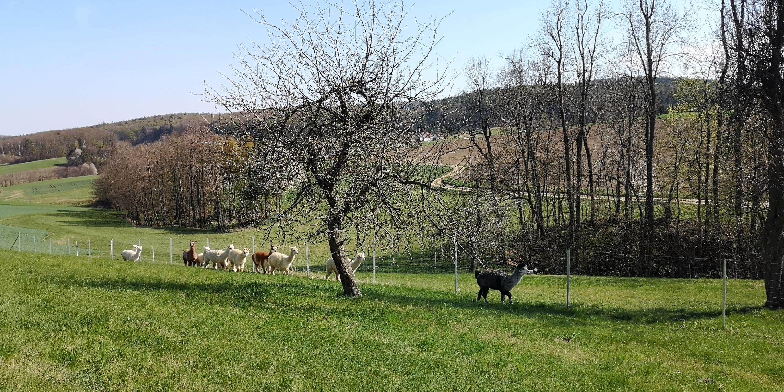Alpaka Herde bei KK Alpakas